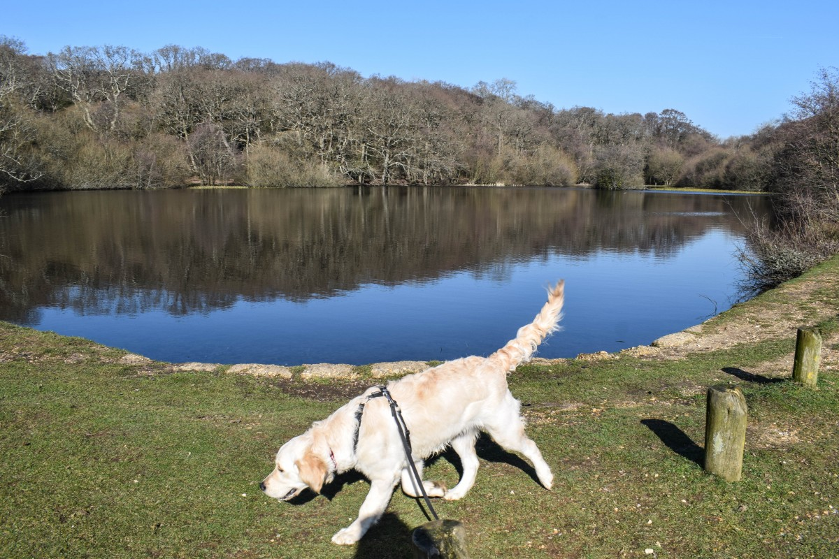 dog walks new forest fritham