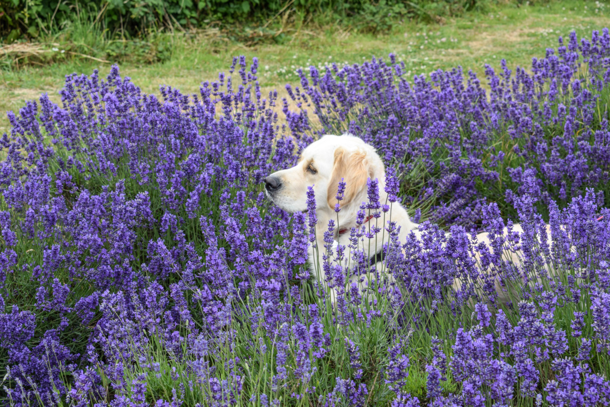 A visit to Somerset Lavender Farm
