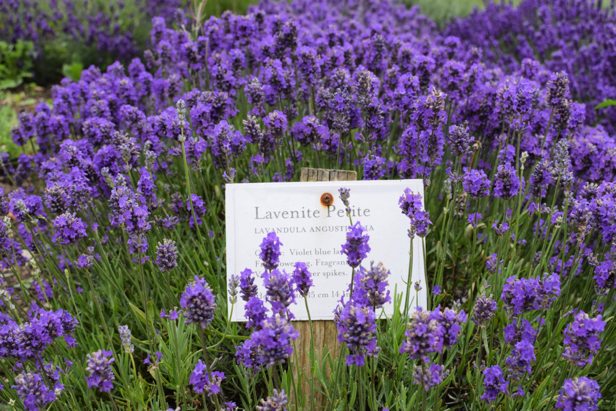 Somerset Lavender Farm Garden