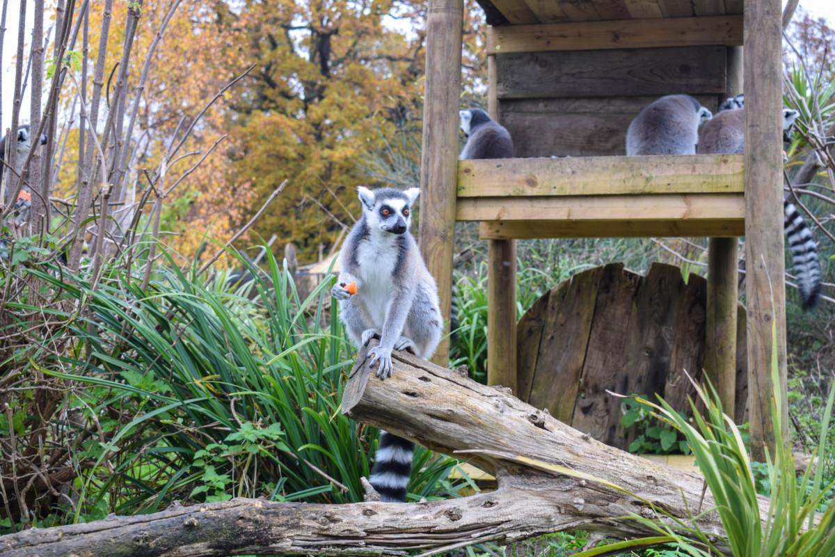 Wild Place Project Bristol lemurs