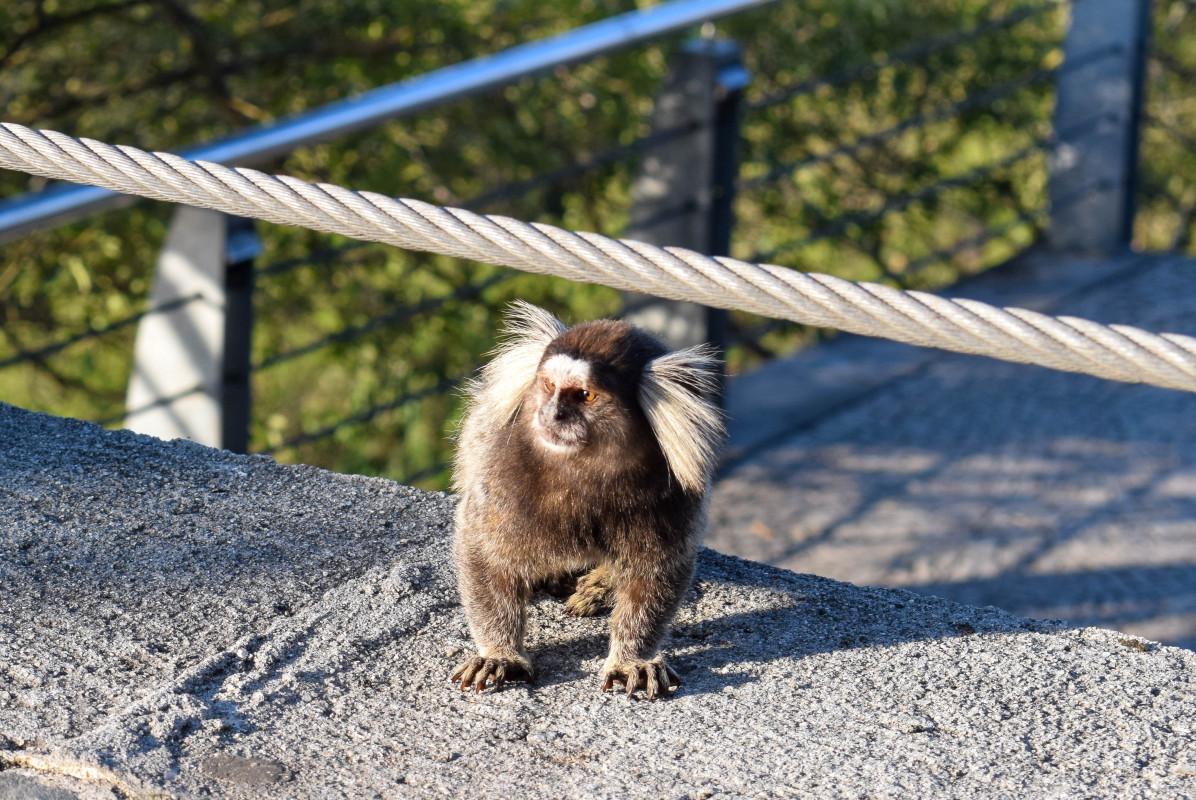 marmoset monkey rio de janeiro brazil